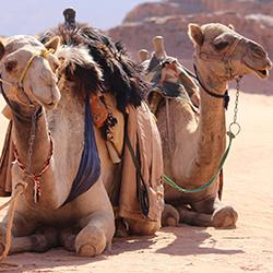 Image of two camels